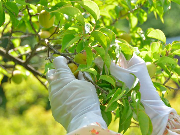 南高梅収穫中