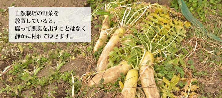 自然栽培の野菜は枯れてゆきます
