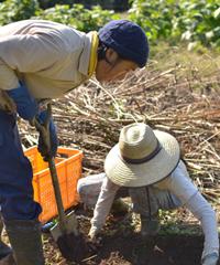 夫婦で菊芋を掘り起し
