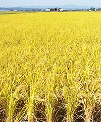 黄金色に輝くお米