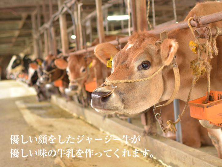 優しいジャージー牛