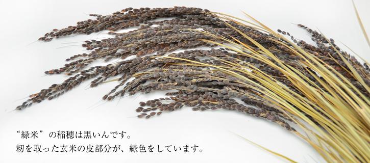 黒米の稲穂