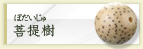 菩提樹(ぼだいじゅ)