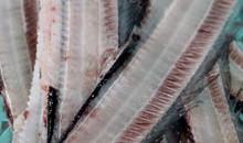 取り除かれた太刀魚の骨。