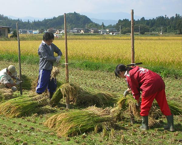 稲刈り後の干し作業