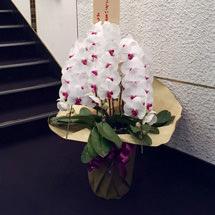 赤リップ胡蝶蘭3本立ち