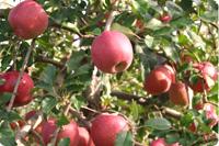 国産ふじりんご 画像1
