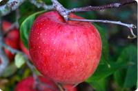 国産ふじりんご 画像