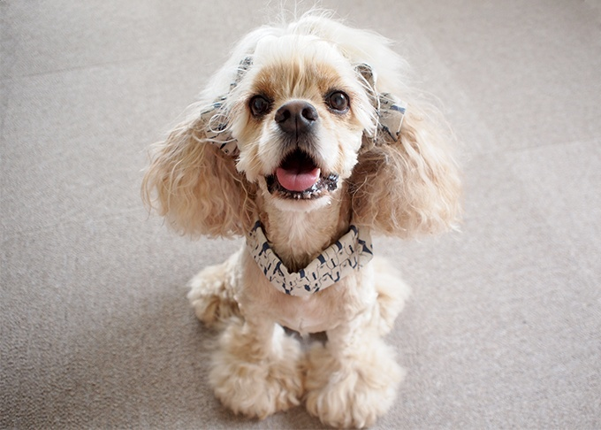 犬用 クールネック 熱中症対策 イヤーシュシュとコーディネート 白くまシリーズ