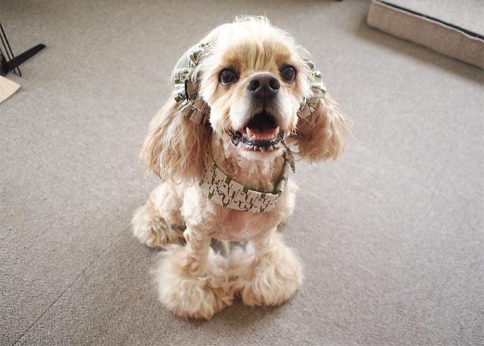 愛犬の耳を彩るイヤーシュシュ 白くま 正面