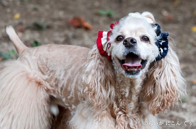 愛犬の耳を彩るイヤーシュシュ アメリカンシリーズ
