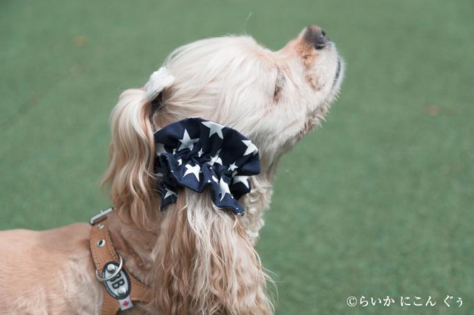 愛犬の耳を彩るイヤーシュシュ アメリカンシリーズ 横から 星
