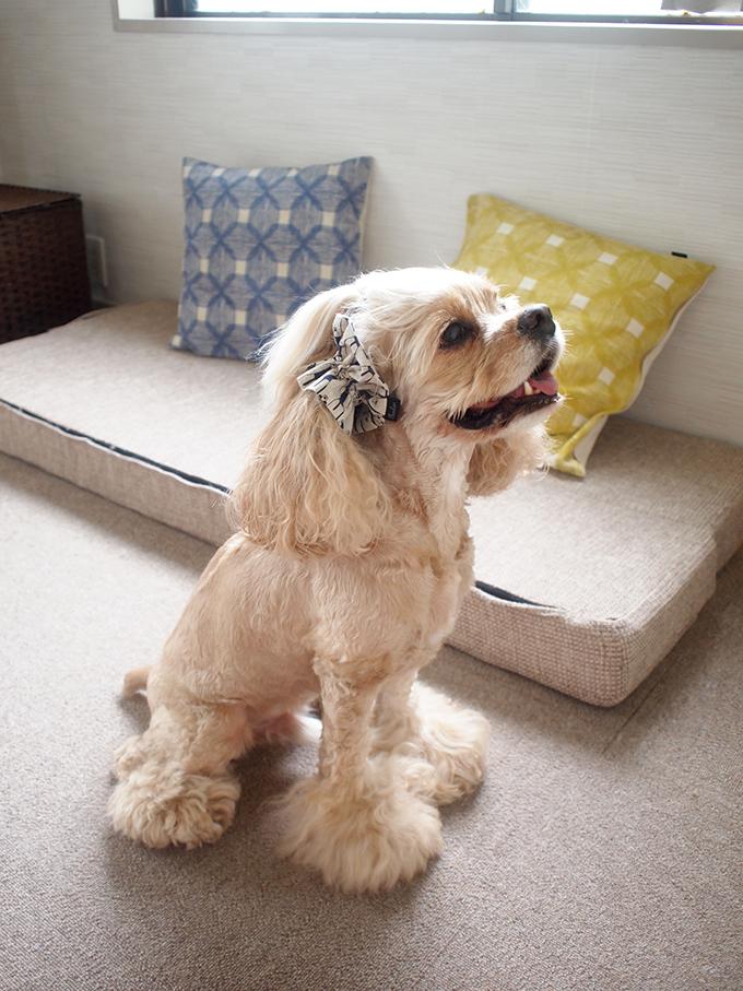 愛犬の耳を彩るイヤーシュシュ 白くま 横