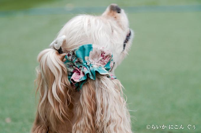 愛犬の耳を彩るイヤーシュシュ ロココシリーズ 斜め後ろから