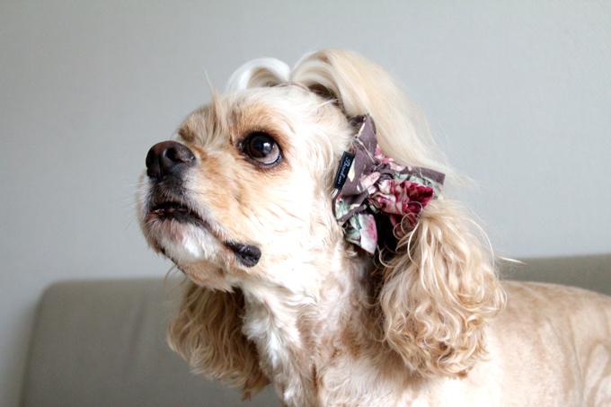 愛犬の耳を彩るイヤーシュシュ ロココシリーズ だいもん 斜め下から