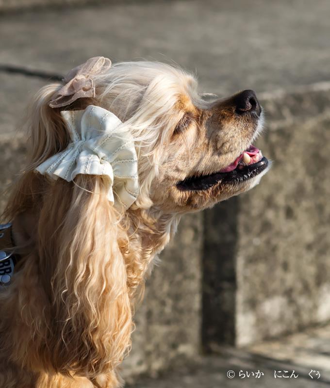 愛犬の耳を彩るイヤーシュシュ テラスシリーズ