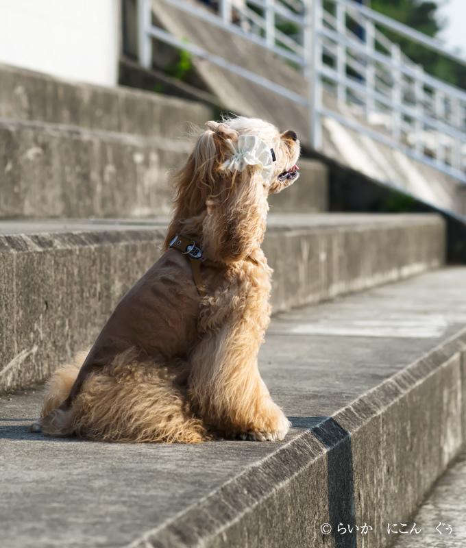 愛犬の耳を彩るイヤーシュシュ テラスシリーズ 斜め後ろから