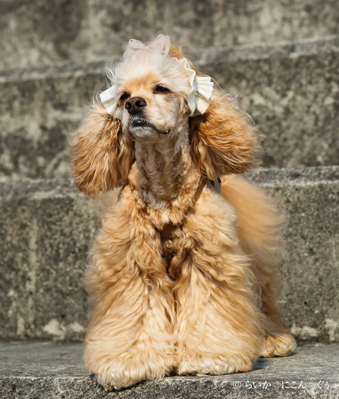 愛犬の耳を彩るイヤーシュシュ テラスシリーズ 前から