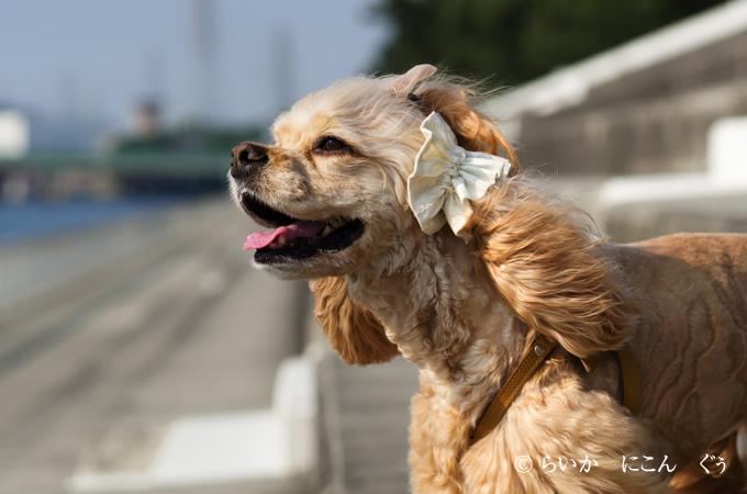 愛犬の耳を彩るイヤーシュシュ テラスシリーズ 横から