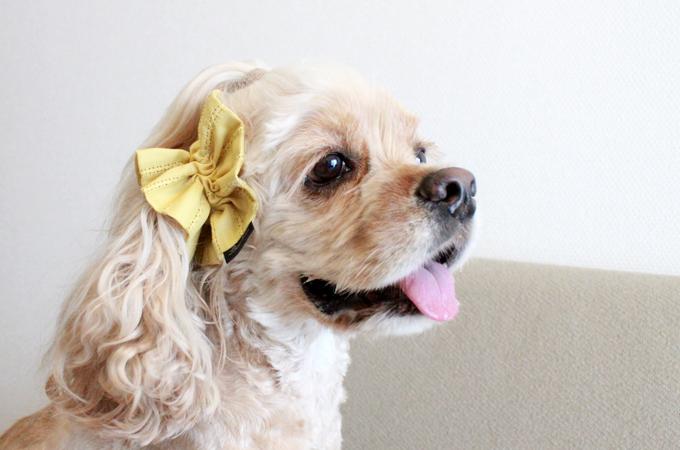 愛犬の耳を彩るイヤーシュシュ テラスシリーズ サルファーイエロー だいもん 横から