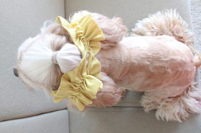 愛犬の耳を彩るイヤーシュシュ テラスシリーズ サルファーイエロー だいもん 上から