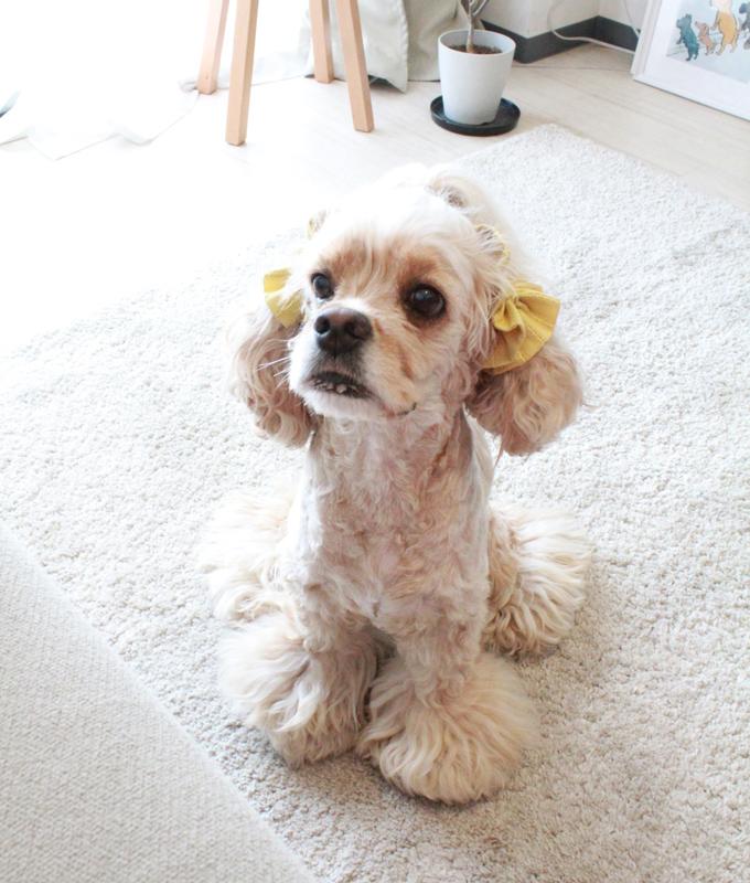 愛犬の耳を彩るイヤーシュシュ テラスシリーズ  サルファーイエロー だいもん 斜め上から