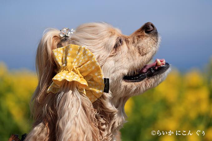 愛犬の耳を彩るイヤーシュシュ 春うららシリーズ きいろ らいかくん 横