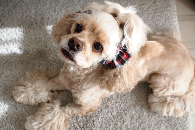 愛犬の耳を彩るイヤーシュシュ クリスマス限定 クラシカルタータン ホワイトクリスマス
