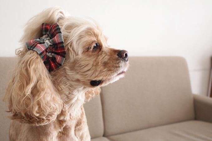 愛犬の耳を彩るイヤーシュシュ クリスマス限定 クラシカルタータン ホワイトクリスマス だいもん 横から