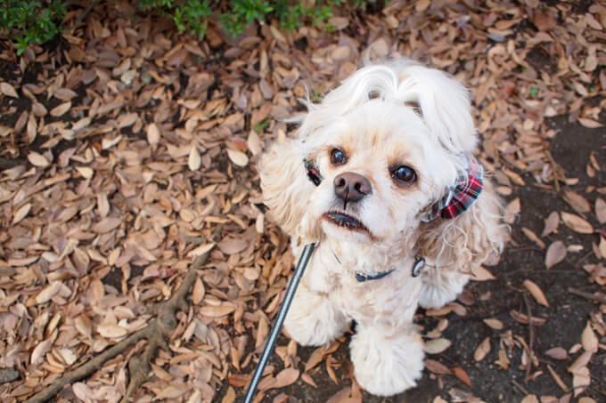 愛犬の耳を彩るイヤーシュシュ クリスマス限定 クラシカルタータン ホワイトクリスマス だいもん 屋外で