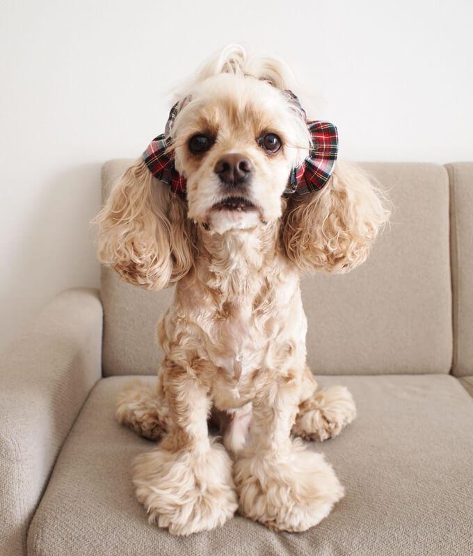 愛犬の耳を彩るイヤーシュシュ クリスマス限定 クラシカルタータン ホワイトクリスマス だいもん 正面 おすわり 全身
