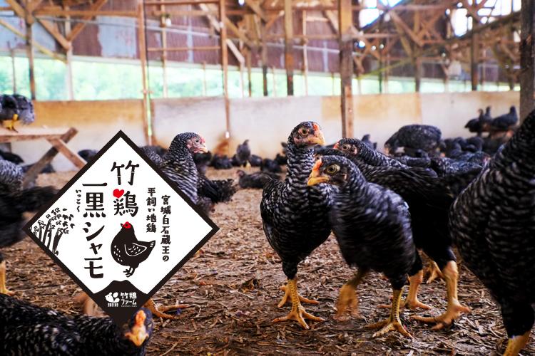 竹鶏一黒シャモ