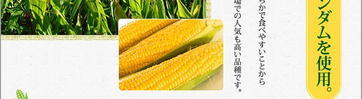 ハニーバンダムは高糖度型とうもろこしの代表品種。実は大きくて甘みが強く、粒皮が柔らかで食べやすいことから幅広い人気を誇っています。鮮やかな黄金色は見栄えも良く、市場での人気も高い品種です。