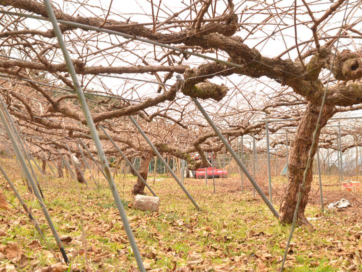 休眠中のキウイ果樹園