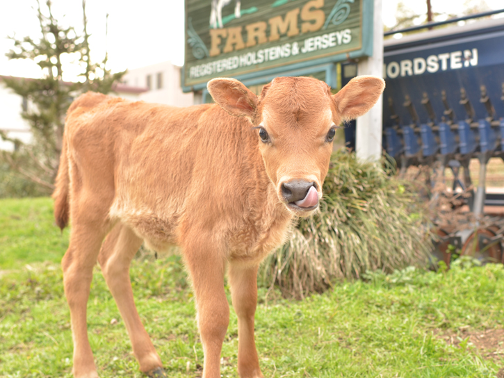 ジャージーのかわいい子牛
