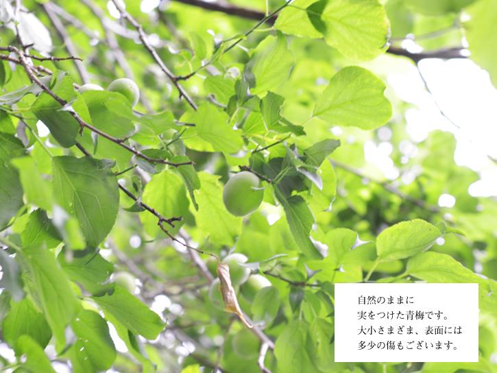坂本部長のお父様、木に登って収穫
