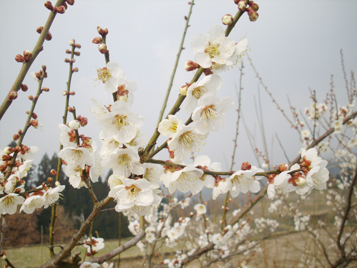 渡辺明人さんの梅の花