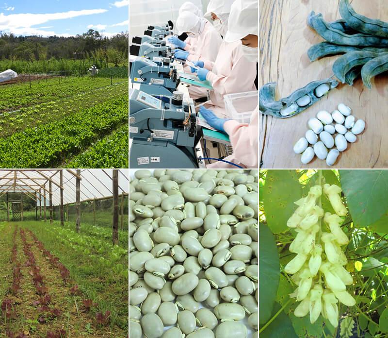 たっぷく豆の栽培と加工