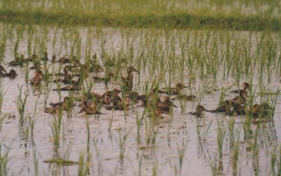 アイガモ農法(真鴨農法)由利本荘産 農薬・化学肥G料不使用 玄米