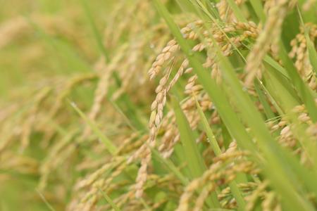 玄米 由利本荘産 農薬・化学肥料不使用 玄米(ササニシキ)