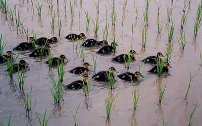 須田 ミエ子 由利本荘産 農薬・化学肥料不使用 玄米