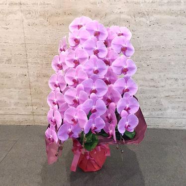 ピンク胡蝶蘭3本立ち