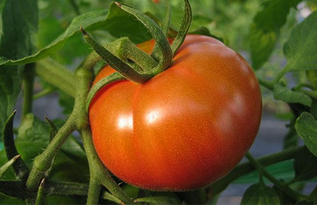 徳谷トマト52番