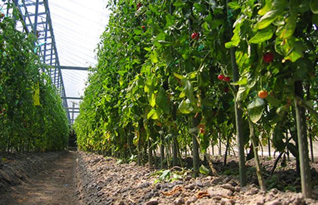 徳谷トマト52番の農場