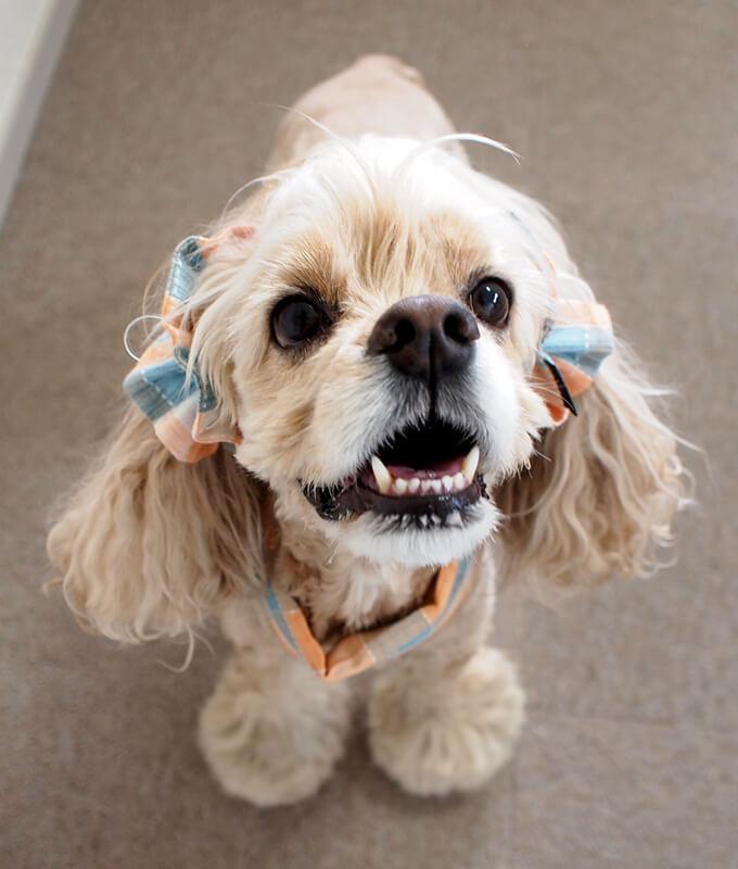 犬用 クールネック 熱中症対策 サマーチェック 夕暮れオレンジ 斜め上から