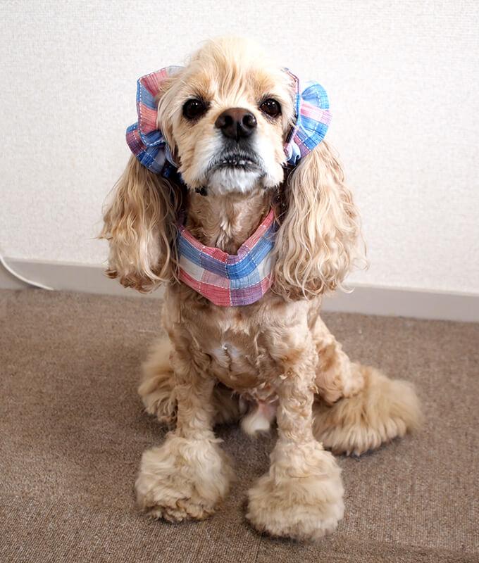 犬 熱中症対策 ひんやりクールネック  イヤーシュシュ コーディネート サマーチェック 朝焼けピンク だいもん