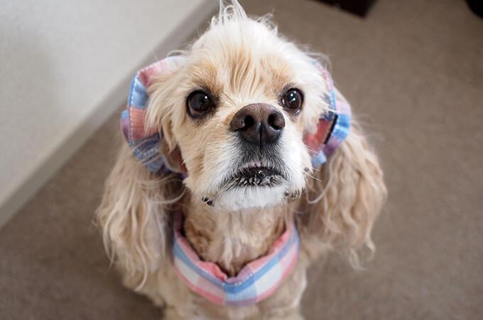 犬用 クールネック 熱中症対策 サマーチェック 朝焼けピンク 前から