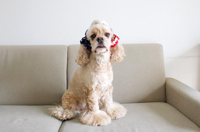 愛犬の耳を彩るイヤーシュシュ アメリカンシリーズ だいもん おすわり