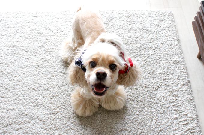 愛犬の耳を彩るイヤーシュシュ アメリカンシリーズ  だいもん 正面 笑顔