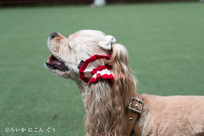 愛犬の耳を彩るイヤーシュシュ アメリカンシリーズ 横から ボーダー